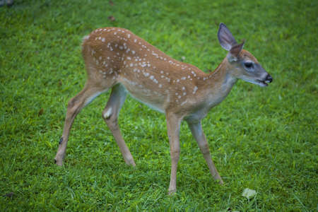 whitetail deer fawn out early enough the grass has dew
