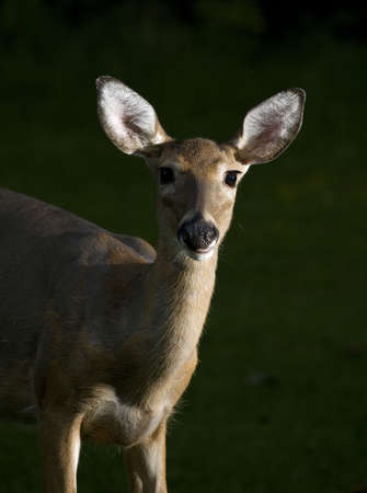 whitetail deer doe that is out in first light Stock Photo - 5691832