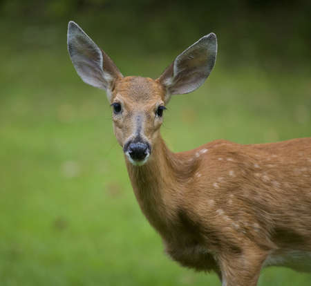 whitetail deer fawn up close with a green background Stock Photo