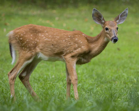 whitetail deer fawn on a grassy field at dusk