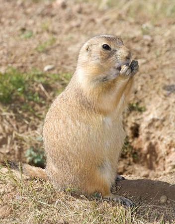 burrow: prairie dog that is eating someting outside its burrow