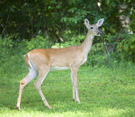 whitetail deer doe standing near the edge of a forest Stock Photo - 5817177