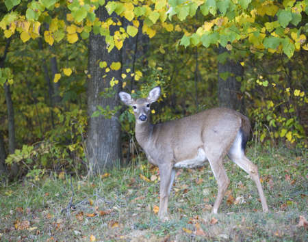 whitetail doe that is near a forest turning into autumn colors Stock Photo - 5817300