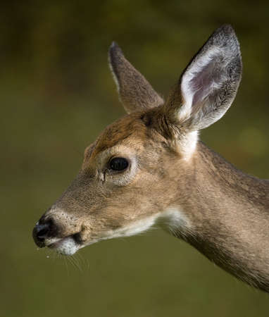 Young whitetal buck with his first antlers growing with a wet chin