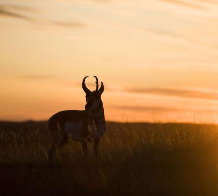 プロングホーン カモシカのシルエット、太陽がダウン 写真素材