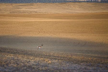 pronghorn antelope that is in a field in Wyoming alone Stock Photo - 5973701