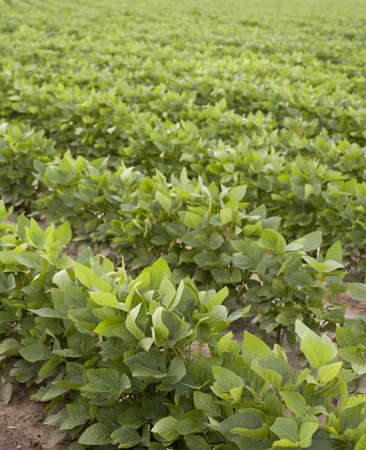 furrow: soy beans growing in a summer field in North Carolina