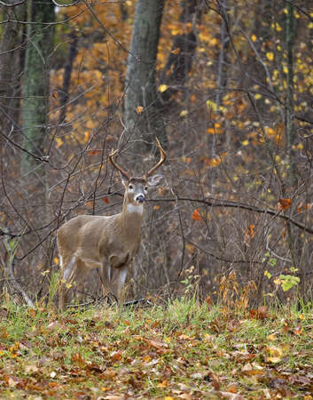 whitetail deer male with antlers near a forest edge in autumn 版權商用圖片