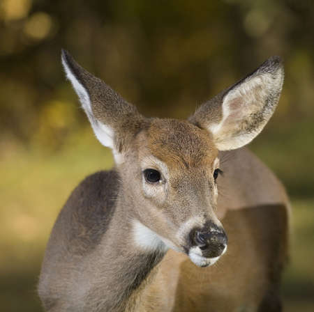 whitetail buck that has its first antlers very small