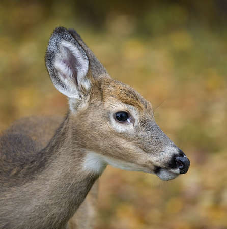 whitetail buck that you can barely see his antlers coming in Stock Photo