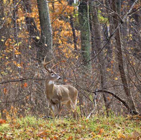 가을 숲에서 뿔 함께 whitetail 남성 스톡 콘텐츠