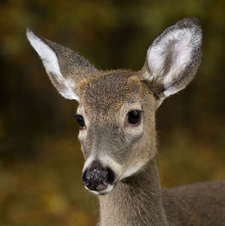 very young whitetail deer buck with antlers just growing Banco de Imagens