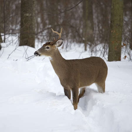 whitetail buck that has lost an antler in winter photo