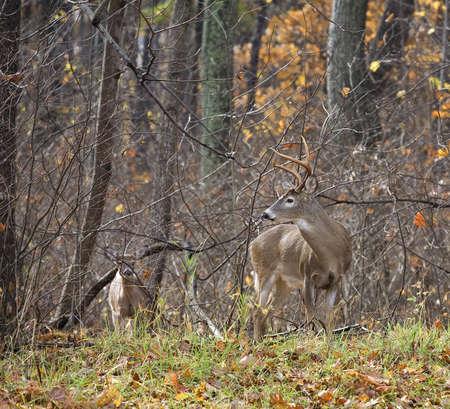 젖은 whitetail 벅 가을에 다른 사슴에 눈을 유지