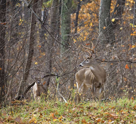 Wet whitetail buck keeping an eye on another deer in fall