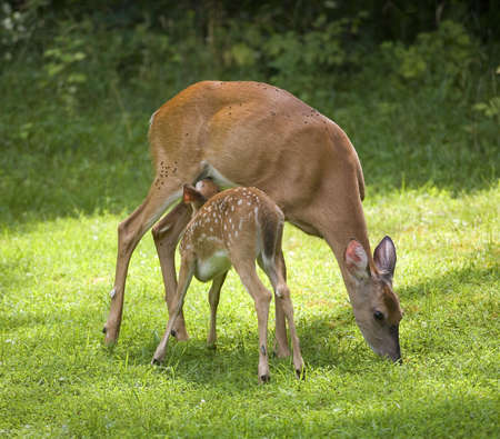 whitetail deer fawn that is getting a meal from a doe photo