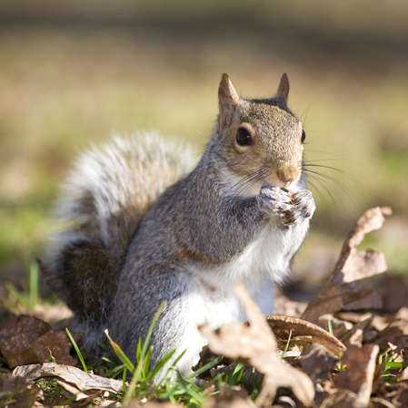 tree squirrel that is on the ground eating something