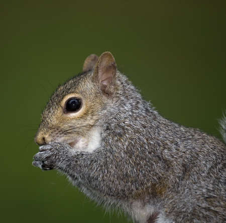 tree squirrel that has its hands up to its mouth Banco de Imagens - 7059430