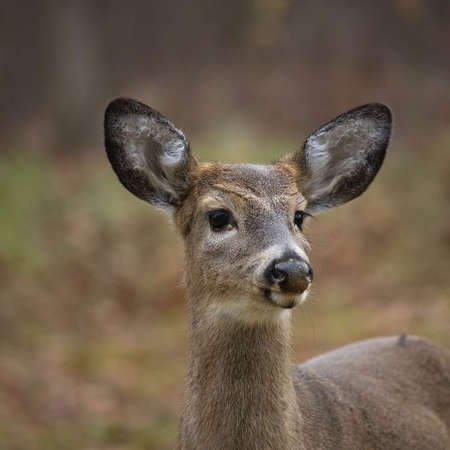 yearling whitetail buck with its antlers just starting to grow photo