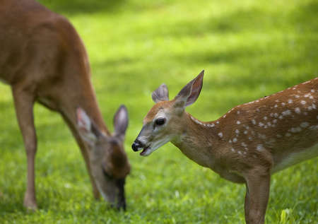 deer  spot: Eating whitetail doe that has its fawn nearby on grass Stock Photo
