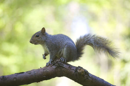 tree squirrel that is on a branch in a forest photo