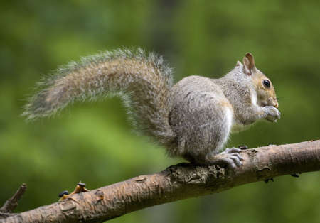 Tree squirrel that is out on the limb of a small tree photo