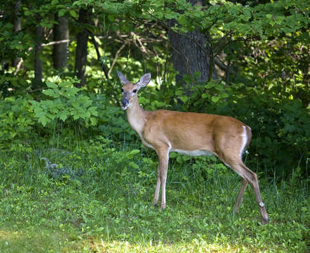 whitetail deer doe that is on the edge of a summer forest