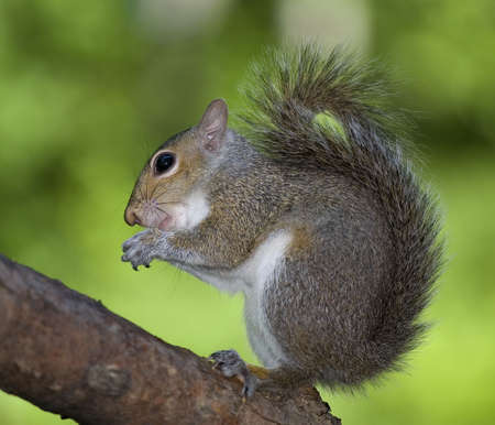 tree squirrel that looks like it is rubbing its paws photo