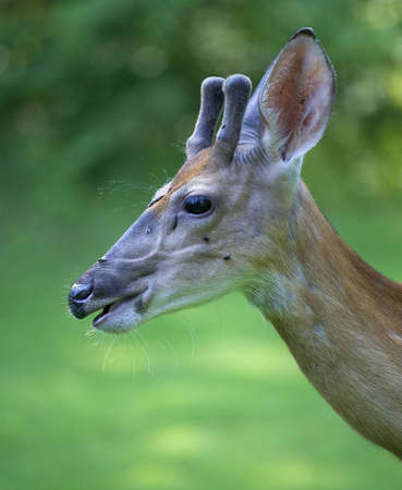 bigodes: Young whitetail buck with antlers and all his whiskers showing