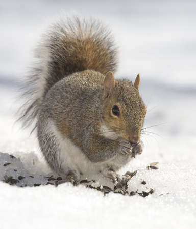 tree squirrel that has found some sunflower seeds in the snow