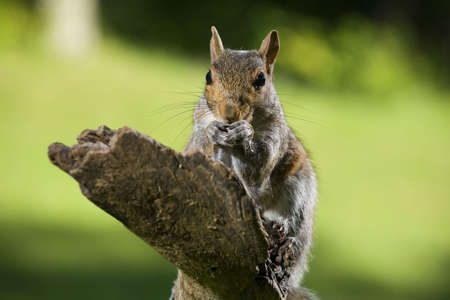 tree squirrel that is on some deadfall that has found food photo