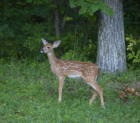 Whtietail deer fawn that is standing near a thick forest