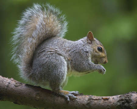 Tree squirrel out on a branch that has found sunflower seeds Stock Photo