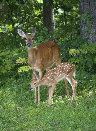 fawn: Whitetail doe near a forest with its young fawn
