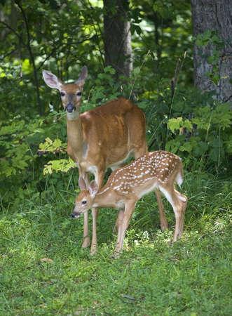 Whitetail does nahe einem Wald mit seinem jungen Kitz