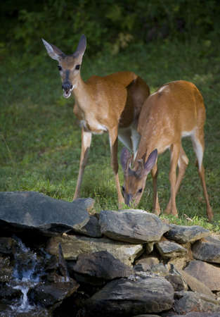 Whitetail doe and a buck that are sharing a meal near water photo