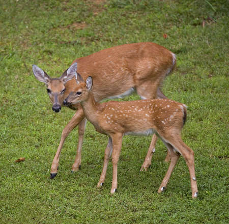 Whitetail deer doe that looks like its winking at a fawn