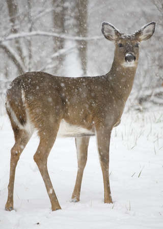 whitetail doe in a forest caught in a snow storm Stock Photo