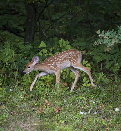 Whitetail deer fawn using the forest edge for cover Stock Photo - 7637245