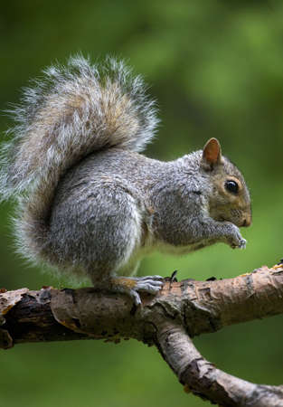 Tree squirrel that is out on a tree limb on grass photo