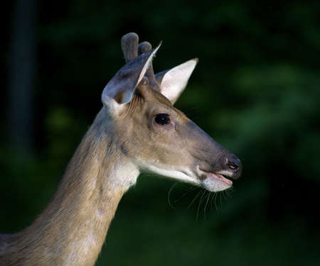 come in: Whitetail deer buck that has come in just after sundown