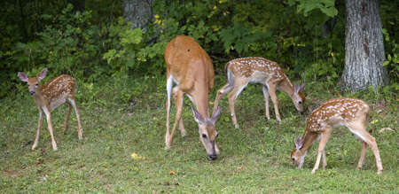 Whitetail doe that has three fawns near a thick forest Stock Photo - 7637253