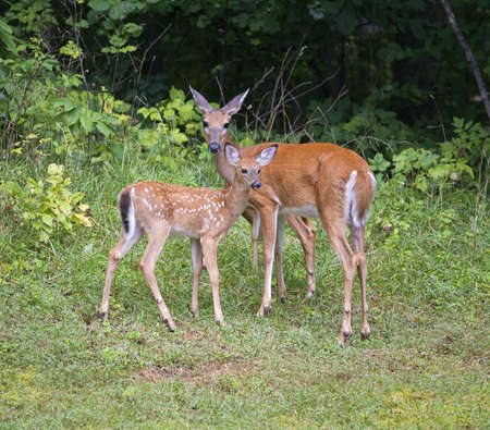 whitetail doe near a summer forest with a spotted deer fawn Stock Photo