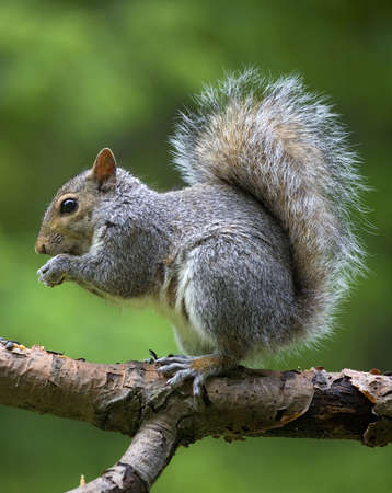 tree squirrel that has found some food out on a branch Standard-Bild