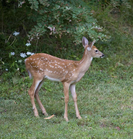 Deer fawn that is coming out of the forest into a clearing Stock Photo - 7689319