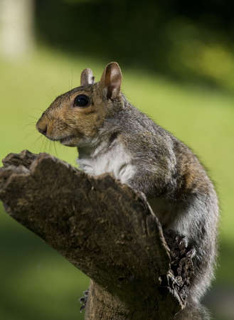 Tree squirrel that is out on the edge of a dead fall photo