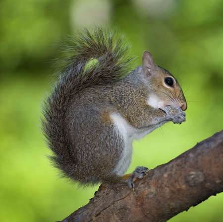 tree squirrel out on a limb in a well lit forest in summer photo