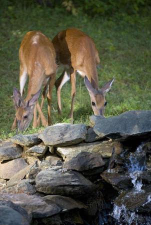 Deer doe and a buck eating grass near a small stream photo