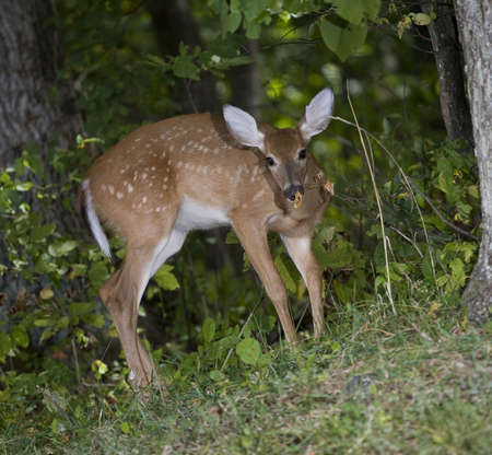 Whitetail fawn in a forest sniffing a brown leaf photo