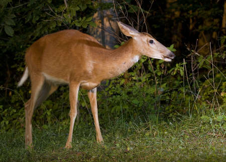 strobist: Whitetail deer doe that is walking near a forest edge Stock Photo